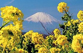 正月に咲く早咲きの菜の花