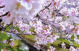 二宮町の桜