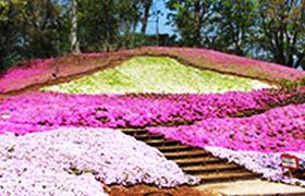 二宮町 吾妻山公園の芝桜園