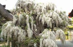 等覚院の天然記念物、推定樹齢400年の白藤