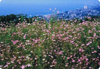 吾妻山公園に咲くコスモス