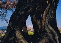 準特選 「二宮の四季(春)」 西山親司