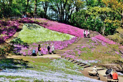 第23回 特選「咲き誇る芝桜の丘」 加藤 一郎(小田原市)