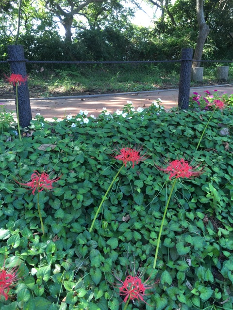 ラディアン花の丘公園 咲き始めの彼岸花