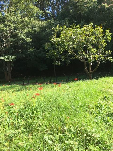 ラディアン花の丘公園 コスモス